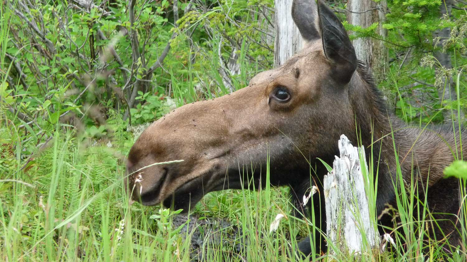 The Great Trails a TV show around Quebec here in the gaspesian region in front of a female Moose